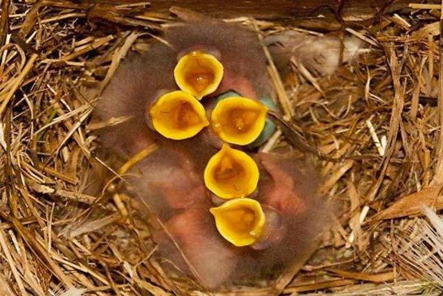 Crías de estornino en el nido