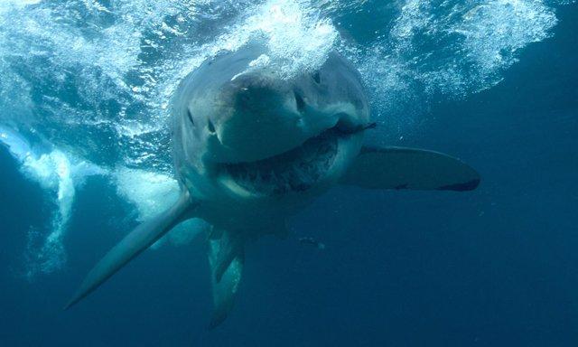 La ira del tiburón blanco