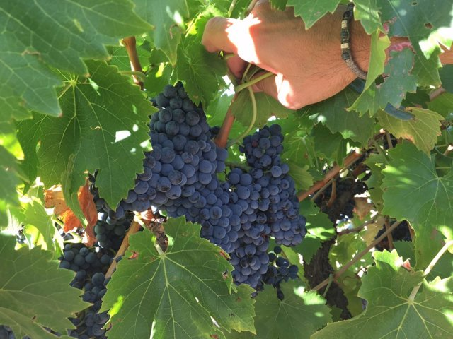 Racimo de uvas en un majuelo.