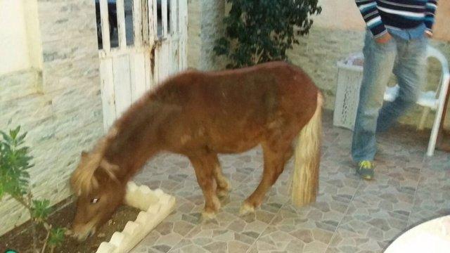 La Policía Local de Cartagena rescata a un poni abandonado
