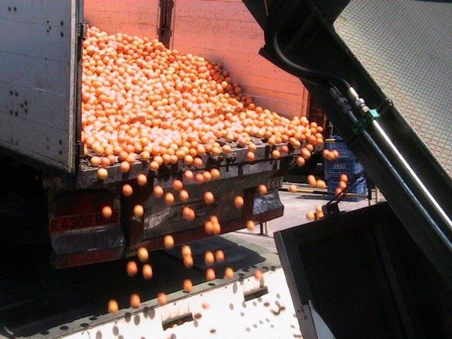 Descarga de naranjas en Palma del Río (Córdoba)