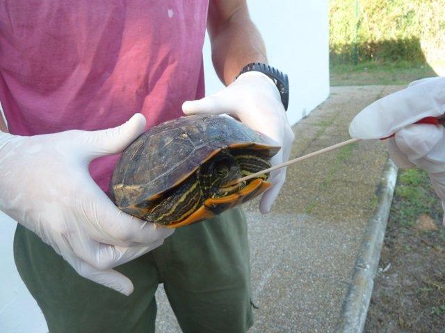Estudian la presencia de salmonella en tortugas