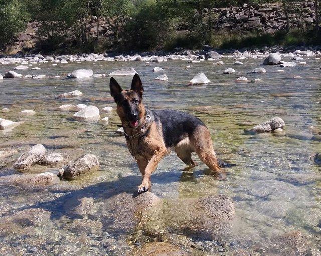 Un perro raza pastor alemán, en un río de Aragón.