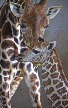 Nace una jirafa en el Bioparc