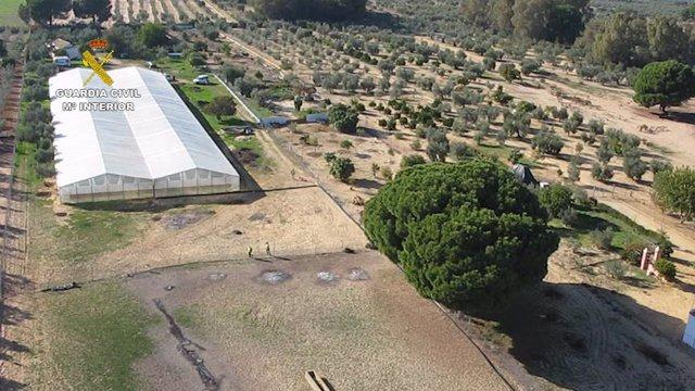 Desmantelado un invernadero de plantas de marihuana en Marchena (Sevilla)
