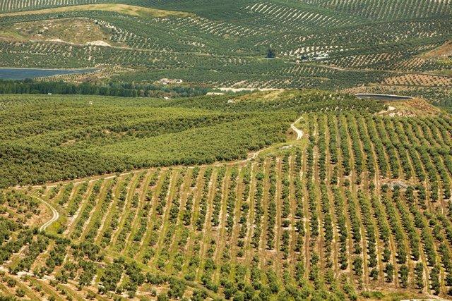 Campos de olivar