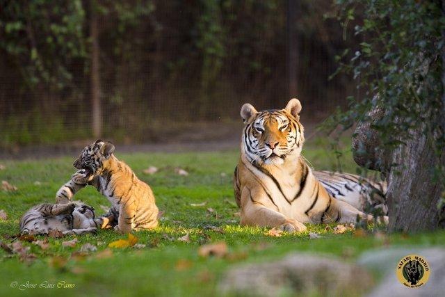Np Nacen Dos Tigres Y Una Jirafa En Safari Madrid