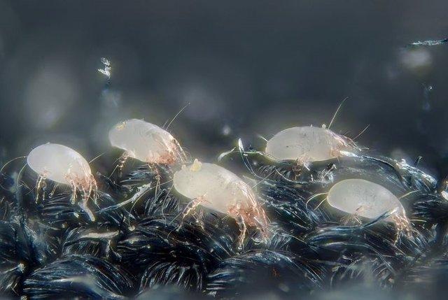 Alergia a los ácaros del polvo