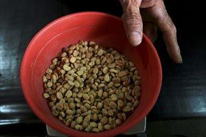 Descubren una nueva variedad de café colombiano