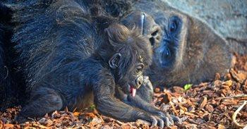 Baby boom en Bioparc Valencia con nuevas crías de gorila, leopardo, dril,...