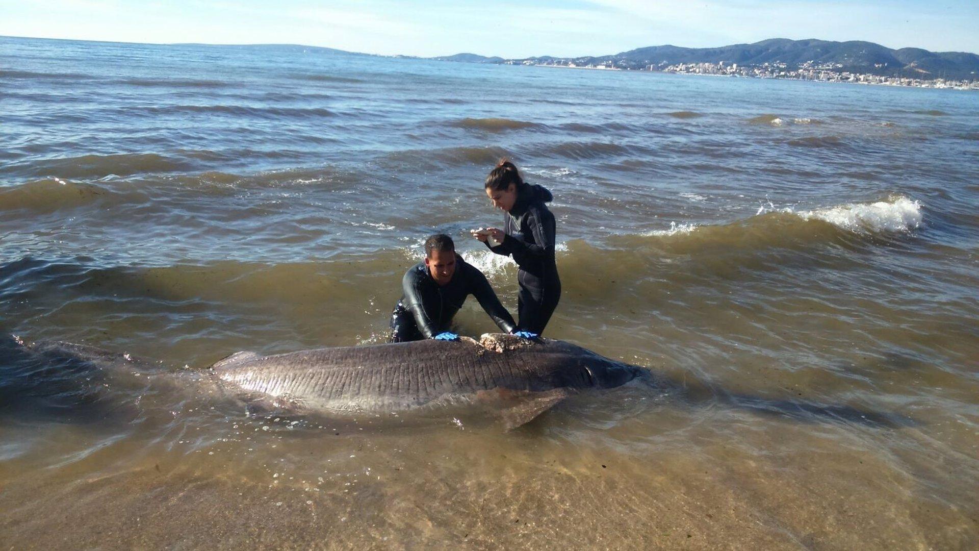 Hallan muerto un tiburón de casi cuatro metros en el Molinar