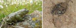 Los sapos detectan lluvia a través de unos detectores sísmicos en su oído interno
