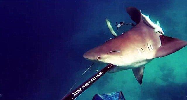 tiburon toro ataque