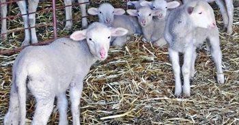Un detenido por robo de ocho corderos en una explotación ganadera de...