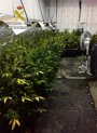 """Foto: Detenido en Tomelloso con 142 plantas de marihuana que desprendían un """"fuerte olor"""""""