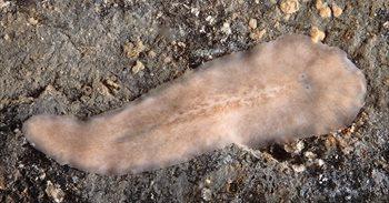 Descubren en la Ría de Arousa un nuevo animal marino