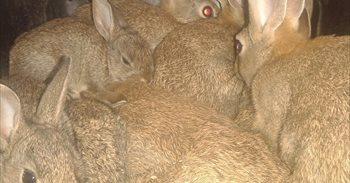 La Policía Canaria se incauta de 18 conejos que se vendían por Internet...