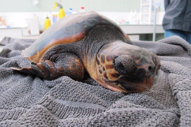 Tortuga boba rescatada en Sitges (Tarragona), actualmente en tratamiento