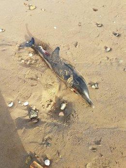 Delfín hallado en Melilla