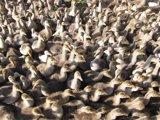 El Govern ordena sacrificar a más de 7.200 patos de seis granjas infectadas por gripe aviar