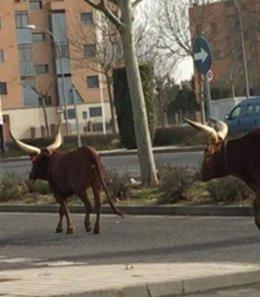 Sueltan a dos toros de un circo en Ciudad Real al grito de 'Liberación animal'