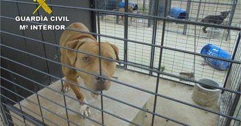 Detectan en Crevillent un criadero ilegal de 30 perros peligrosos sin...