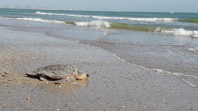 Tres tortugas recuperadas en el Arca del Mar regresan al mar