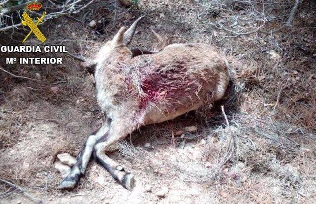 Imagen de la cabra hispánica abatida