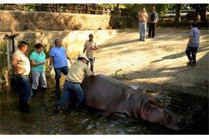 Gustavito, el hipopótamo del Zoo Nacional de El Salvador, muere tras recibir una paliza