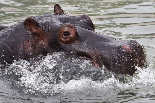 "Sol, a three-year-old hippopotamus refreshes itself in a pond at the zoo ""Parque"