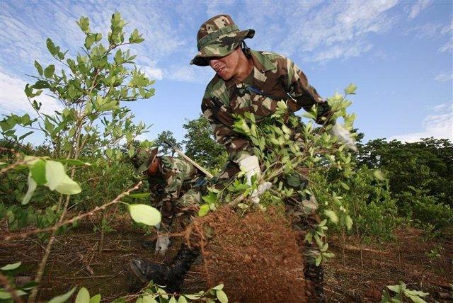 El cultivo de hoja de coca en Bolivia, el tercer mayor productor mundial de coca