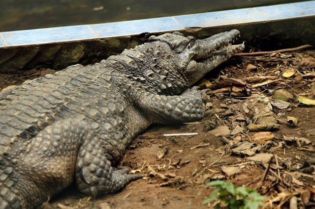 A West African Slender-snouted Crocodile is pictured in its enclosure at the zoo
