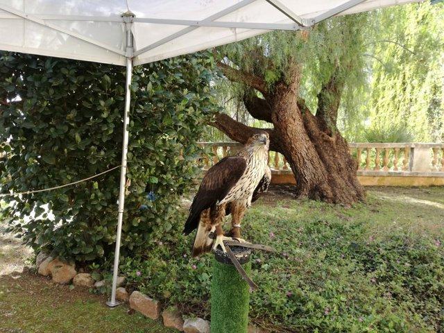 Águila coabarrada o Águila de Bonelli