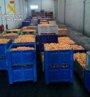 Foto: Detenidas tres personas e investigadas cuatro más por el robo de 150.000 kilos de naranjas en l'Horta sud