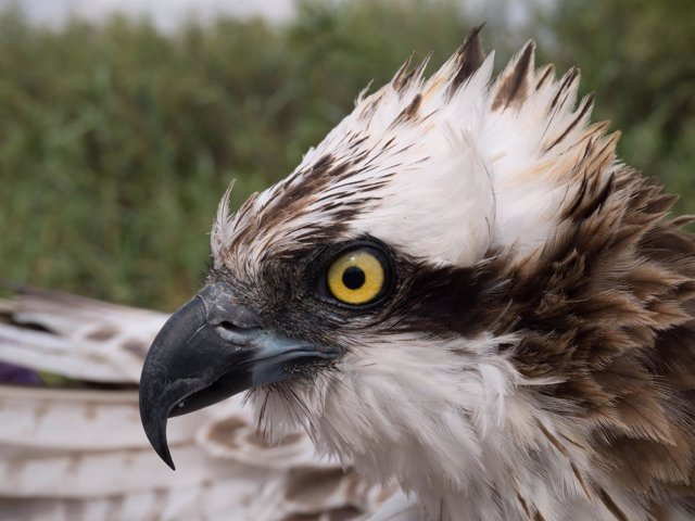 Ejemplar de águila pescadora