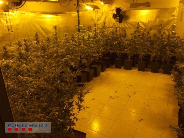 Durante la operación los Mossos intervinieron 332 plantas de marihuana