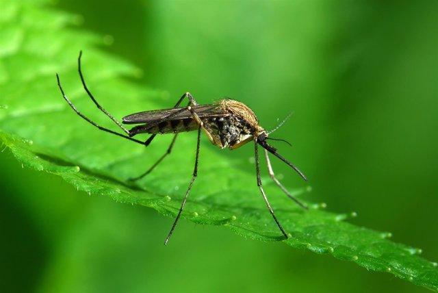Mosquito Aedes albopictus, más conocido como mosquito tigre