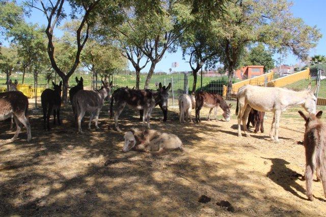 Los burros desembarcan en Bormujos.