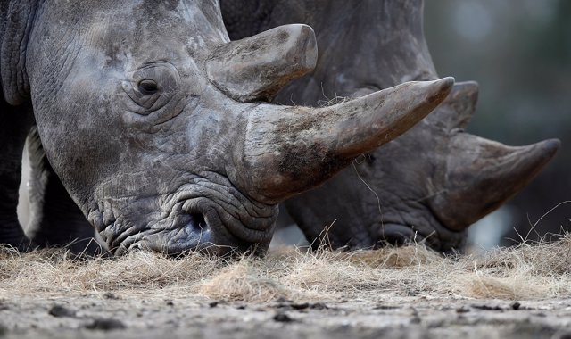 White rhinoceros Bruno (R) and Gracie are seen in their enclosure at Thoiry zoo