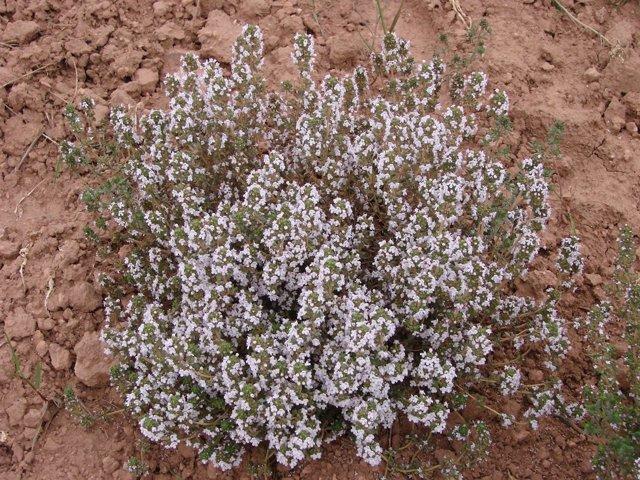 Planta aromático-medicinal
