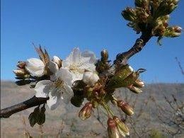 Floración de los cerezos a fecha de 18 de marzo