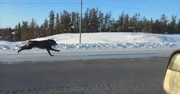 La carrera con lobos por una autopista canadiense