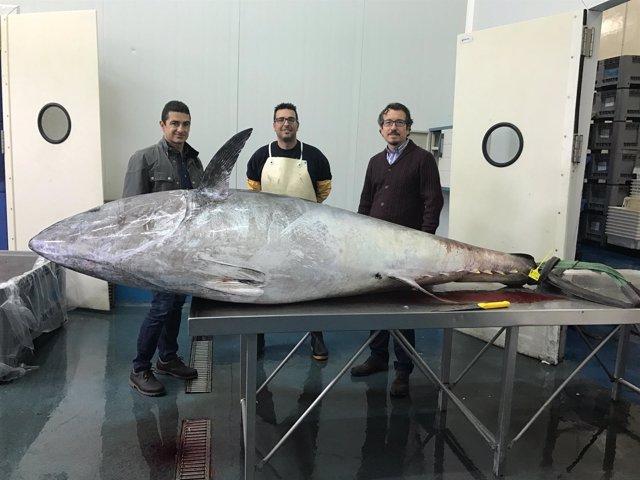Ejemplar de atún rojo pescado esta semana por pescadores de Tenerife