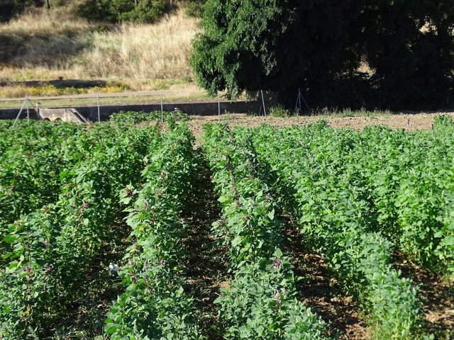 Cultivo de quinoa de Cicytex