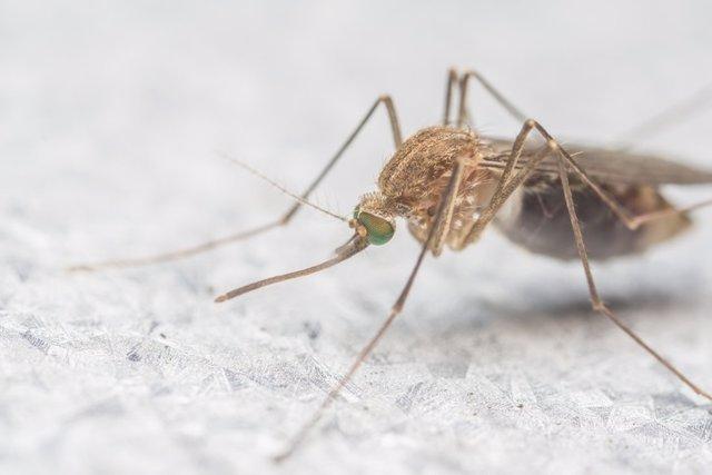 Mosquito, virus del Nilo
