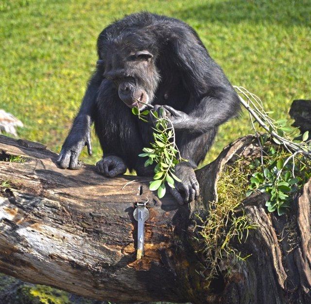 """Los cuidadores del Bioparc hacen """"yogurteros"""" para los chimpancés"""