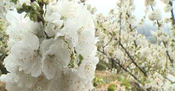 Más de 1,2 millones de cerezos en flor visten de blanco estos días el...
