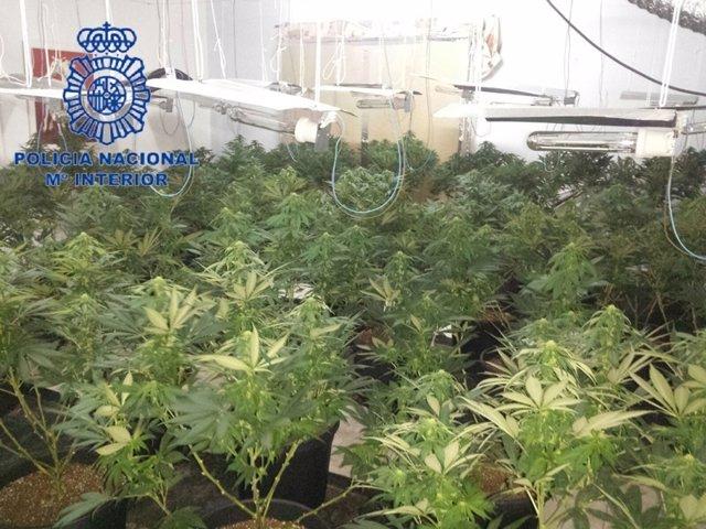 Los agentes se incautaron de 48 plantas con un peso total de 20 kilos