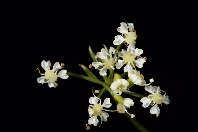 Rivasmartinezia (Apiaceae)