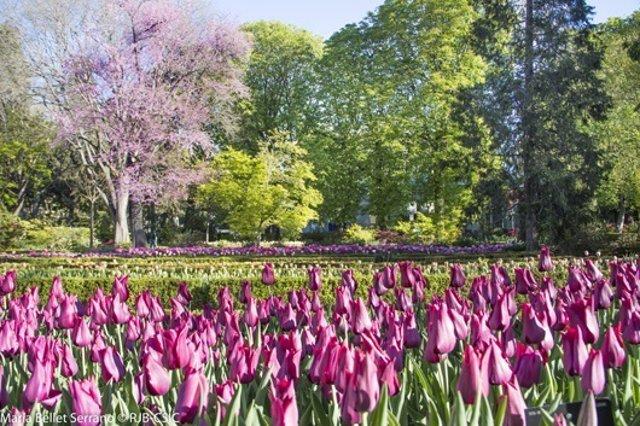 Vuelven los tulipanes al real jard n bot nico de madrid for Jardin botanico horario